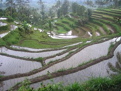 more ricefields by Villa Semadhi Bali