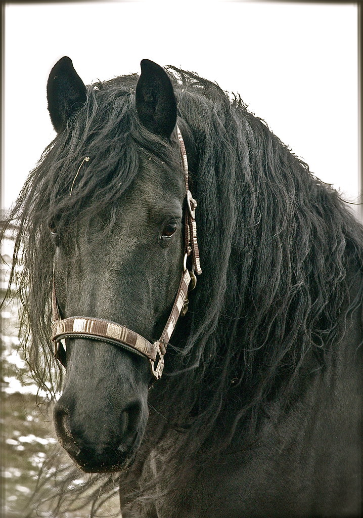 Friesian Horse Pictures Friesian Horse