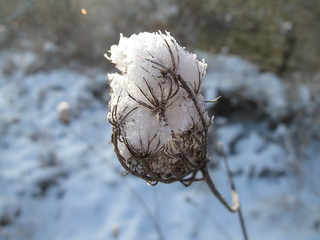 Snowy Weed | by PamelaJayne Smith