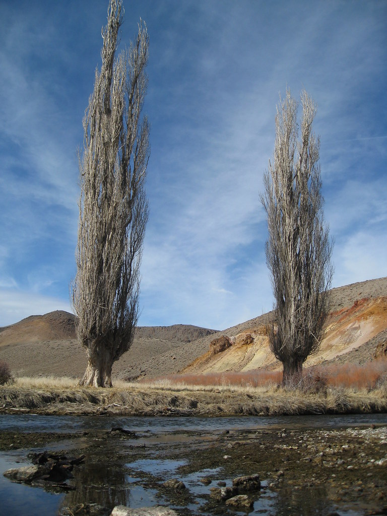 Giant Poplar Trees At The Elbow Tall Poplar Trees At The