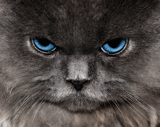 Angry Blue Eyed Grey Cat | by Felinest