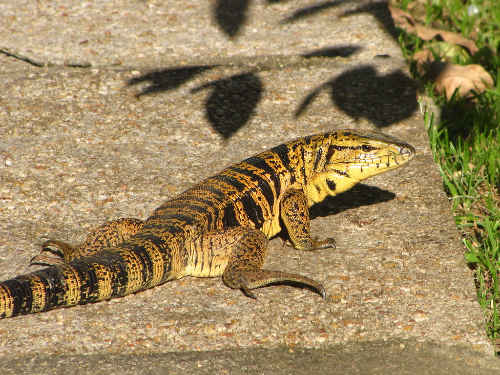 Tiger Lizard Locally Known As Quot Matte Quot Pronounced Quot Mat