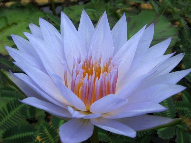 Of water lilies pictures