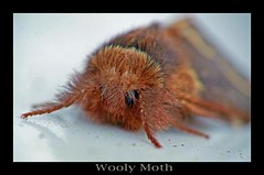 Wooly Moth | by Rowdy Rebel1
