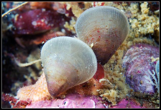 brachiopod pair hemithyris psittacea rhynchonella psittac