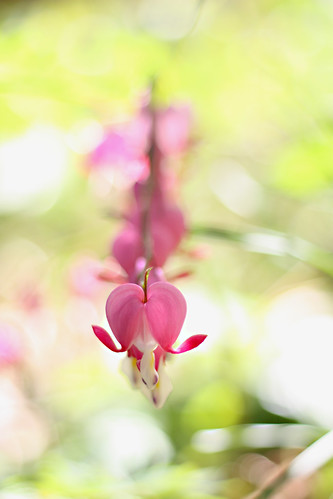 Bleeding Hearts | by LyddieGal
