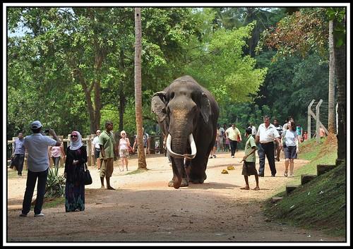 big elephant a big tusker asian elephant at pinnawela