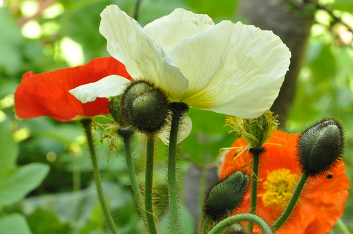 poppies | by gunnel´s
