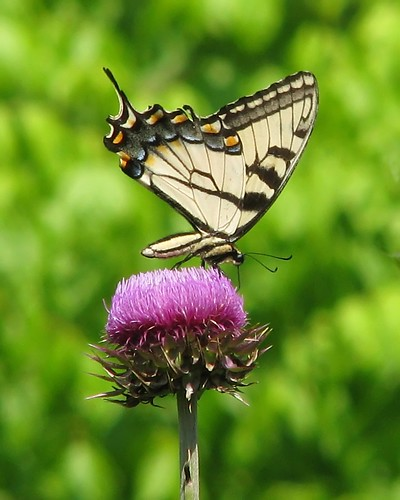 Things on Thistle #2 | by Vicki's Nature