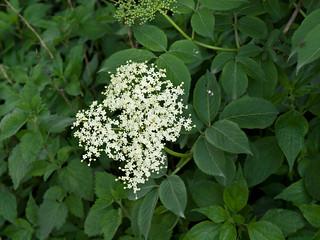 Sambucus By Nature S Way Black Elderberry Effects On Viruses