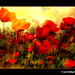 Provence - Camargue, coquelicots