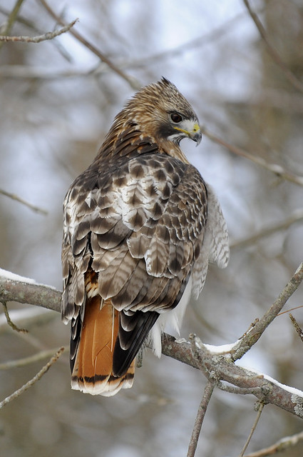 Red Tailed Hawk Ontario Canada Steve Courson Flickr