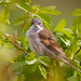Whitethroat7a
