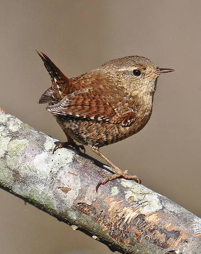 Winter Wren --Vicki's Backyard--Woodstock, Georgia | by davidcreebirder