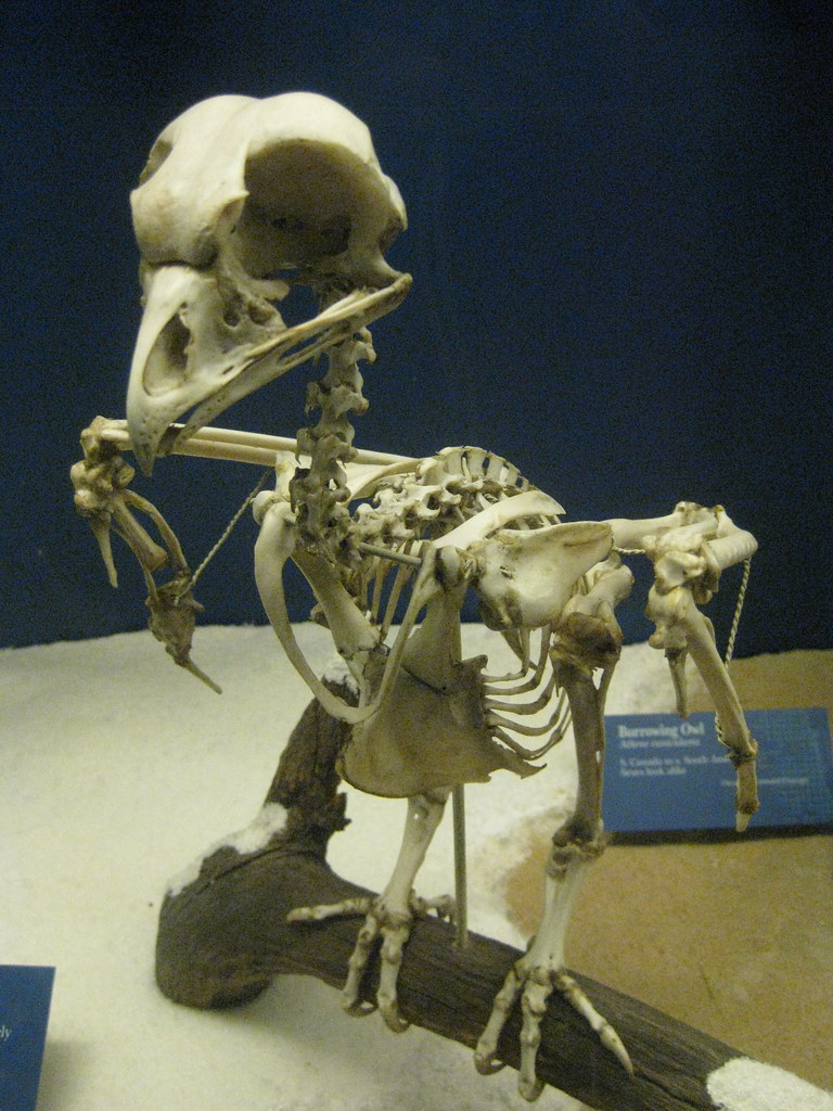 Burrowing Owl Skeleton | I am so totally going to use this ...