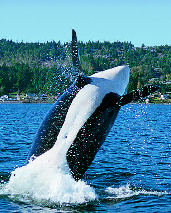 An Orca whale jumping ...