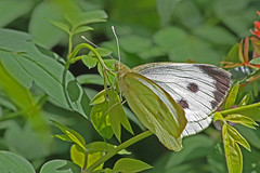 Large White | by Hawkeye2011