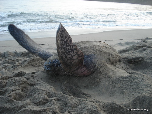 Flapping Leatherback Sea Turtle | by Crazy Creatures