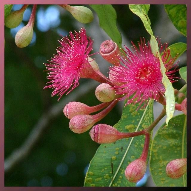 Pink flowering gum flowering tree in brisbane australia flickr pink flowering gum by tatters mightylinksfo