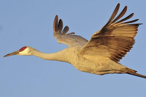 Sandhill cranes in flight : Sandhill crane in flight bosque del apache nwr new mexi