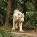 White Tiger_2098