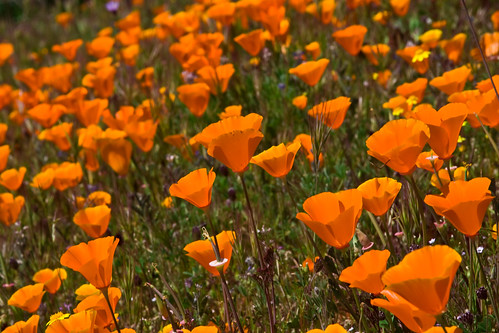 California Poppies | by Robin Black Photography