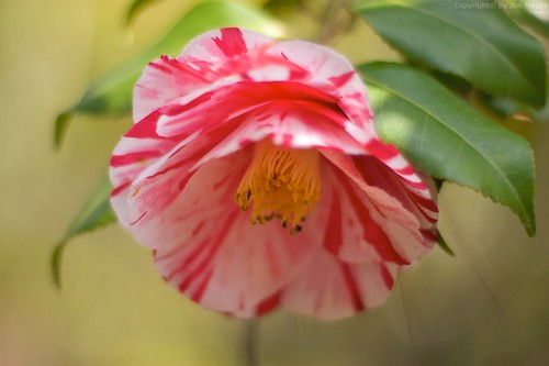 Camellia japonica | by Jim Mayes