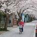 Kamakura cherry blossom