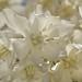 Yuca de Carneros / Carnero's Yuca (Yucca carnerosana), FLOR