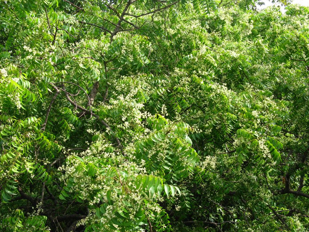 IMG_1603 | Neem tree, a.k.a, Veppa maram,,, A must dish ...