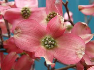 Pink flowering dogwood pink flowering dogwood flickr pink flowering dogwood by oregon coastal flowers mightylinksfo