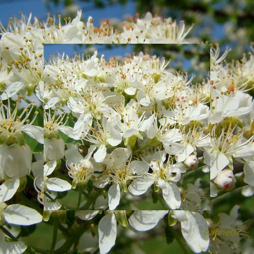 fleurs d 39 aub pine flowers of hawthorn aub pine commune cra flickr. Black Bedroom Furniture Sets. Home Design Ideas