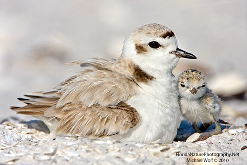 Snowy Plover & Newborn Chick  9950 | by floridanaturephotography