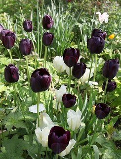 queen of the night and viridiflora tulips | by theinteractivegardener