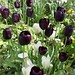queen of the night and viridiflora tulips
