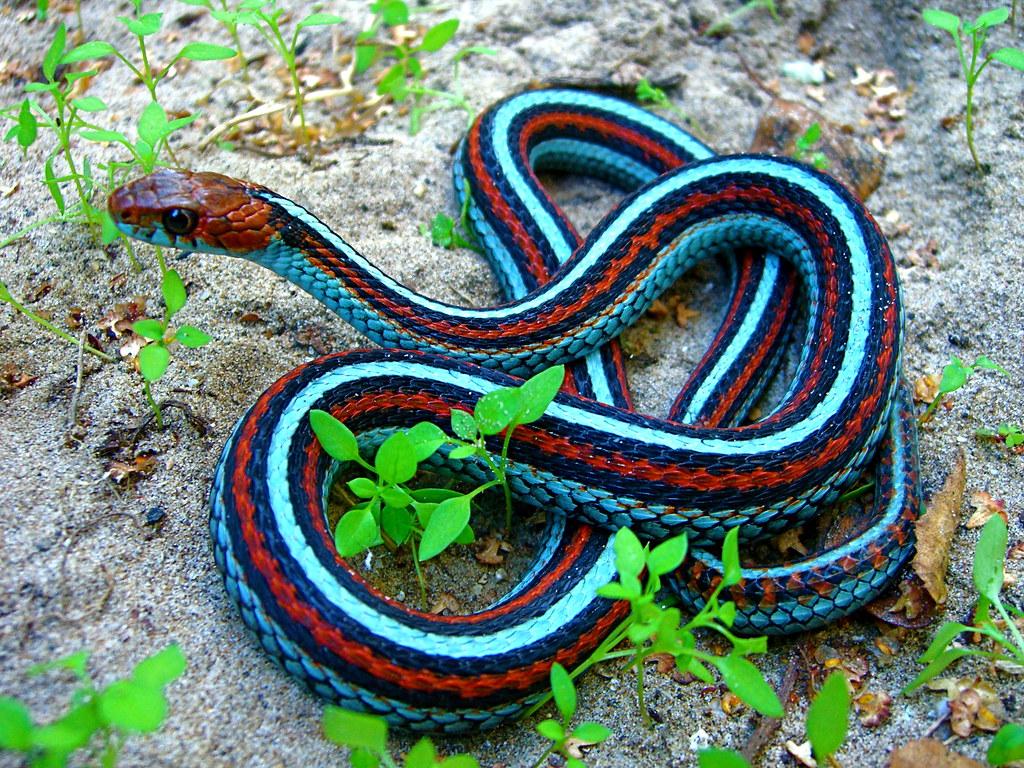 Neon Blue Morph San Francisco Garter Snake Thamnophis Si Flickr