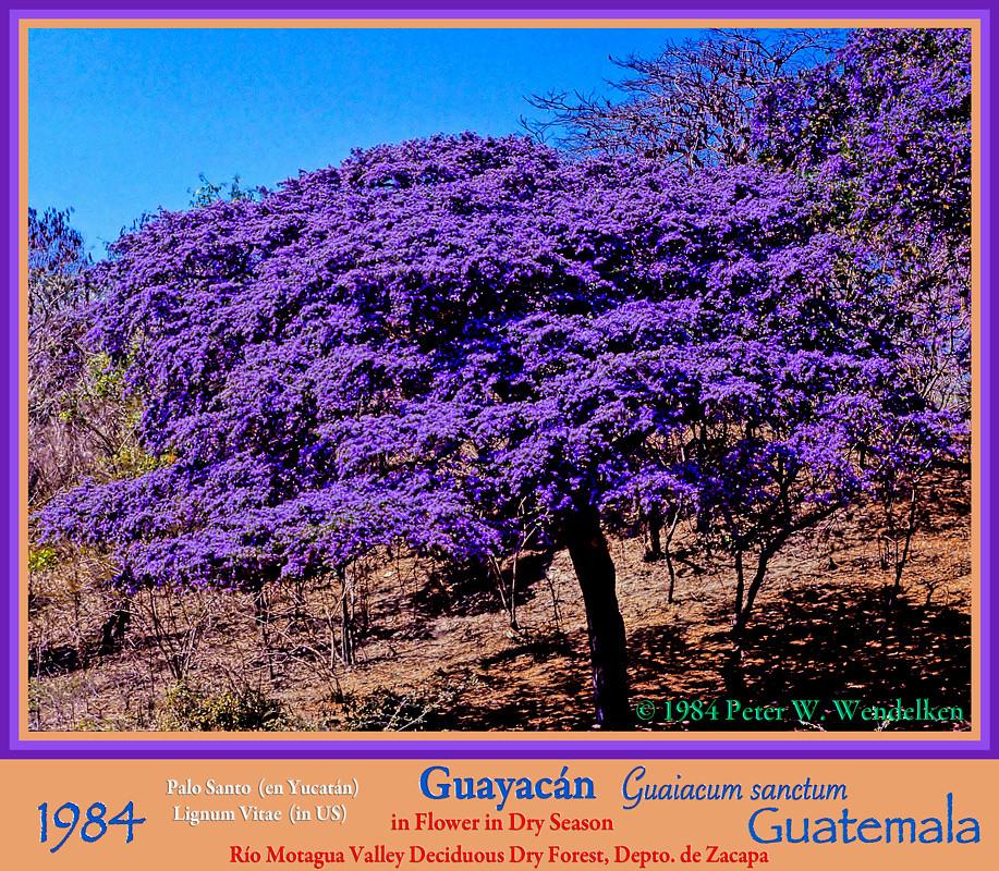 GUAYACAN TREE Guaiacum Sanctum IN FLOWER In The Río Motagu