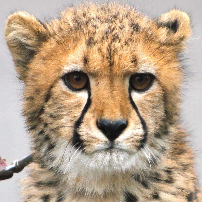Baby cheetah face