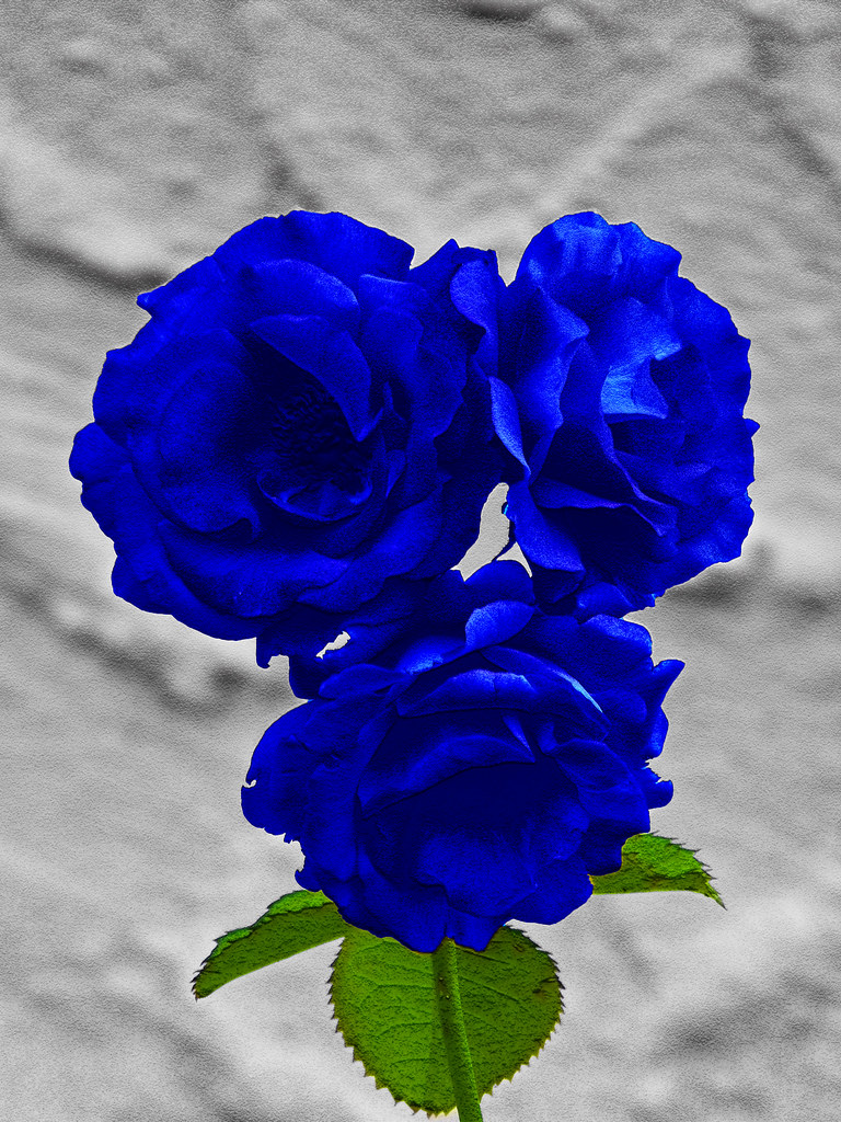 Rare Pretty Beautiful Rose Blue Pictures Picturesboss