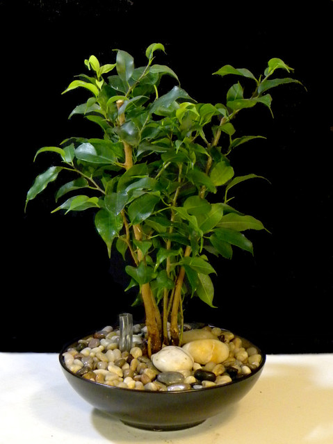 Six Month Old Ficus Benjamina Converted To Hydroculture