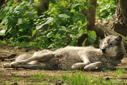 Wolf lying on back - photo#1