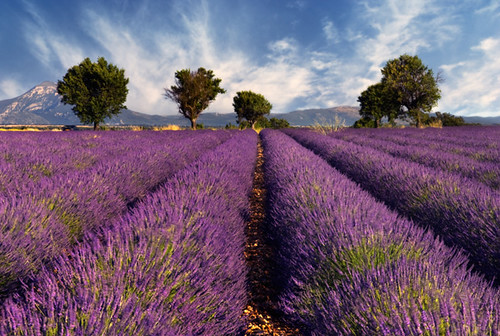 Lavender field in Provence, France | by Dory1506