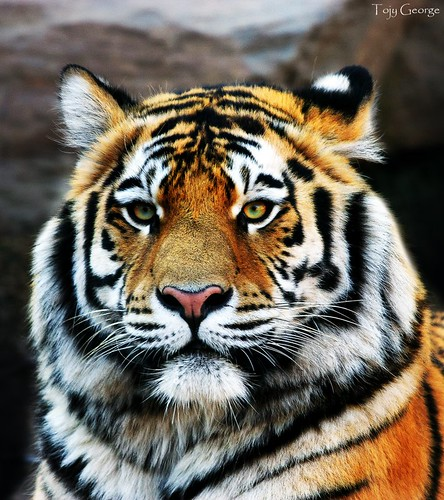 Tiger's face | Follow ...