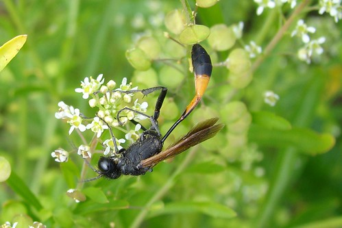 Thread-waisted Wasps (Sphecidae) | by Burnt Umber