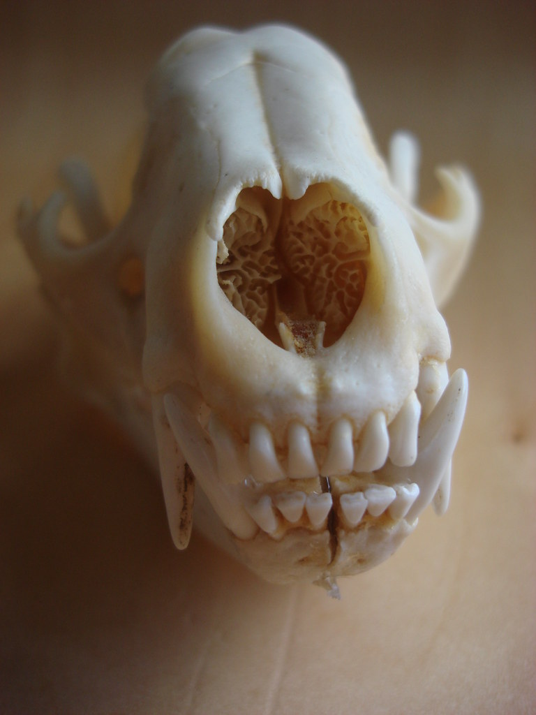 raccoon skull | yes i like to collect weird things  they int