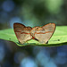 Euselasia hygenius  - couple mating