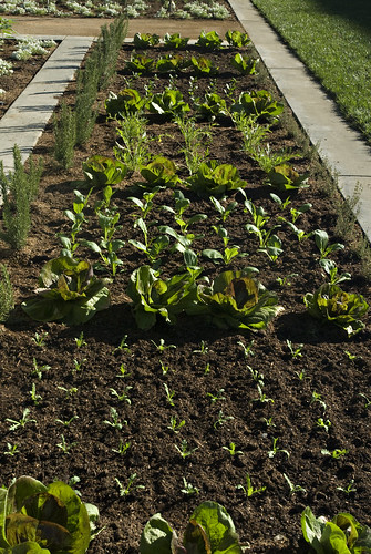 lettuce and greens bed | by UC Davis Arboretum & Public Garden