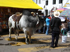 Toro in the Feria de Cholula