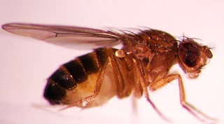 Drosophila melanogaster | by Oregon State University