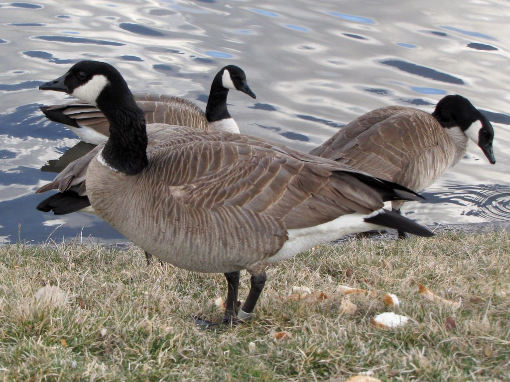 dark canada goose a rather strange looking female canada g flickr. Black Bedroom Furniture Sets. Home Design Ideas